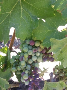 Veraison at the Mondavi Winery